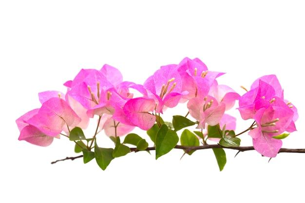 Buganvílias ou flor de papel isolada no branco. traçado de recorte