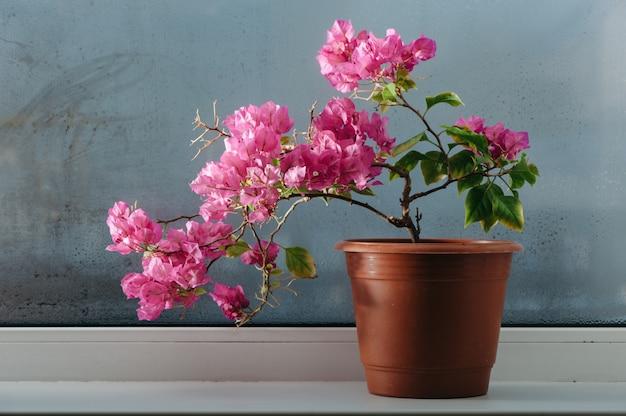 Buganvílias rosa crescendo em uma panela no parapeito da janela. vidro embaçado.