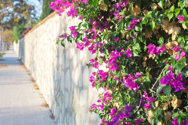 Buganvílias rosa flor no fundo da paisagem urbana
