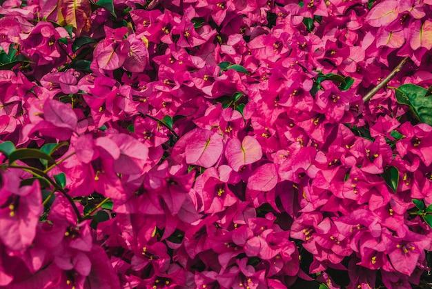 Buganvílias rosa flor