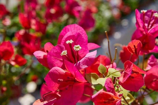 Buganvílias rosa flores no mediterrâneo