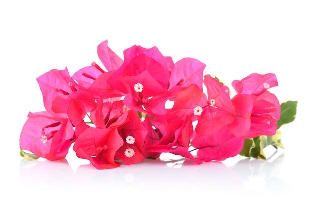 Buganvílias rosa isoladas em branco