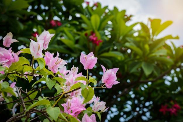 Buganvílias roxas no jardim