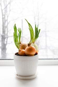 Bulbos de cebola verde em uma panela branca no parapeito de uma janela. jardinagem doméstica