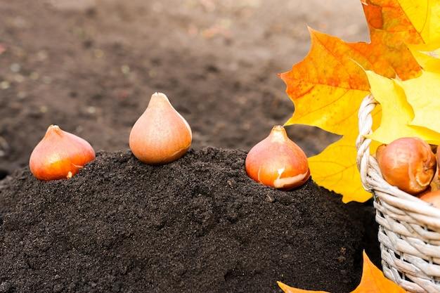 Bulbos de tulipas marrons prontos para plantar no solo, close-up com uma cesta e brilhantes folhas laranja
