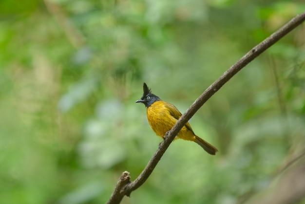 Bulbul preto-com crista, pássaro bonito em tailândia