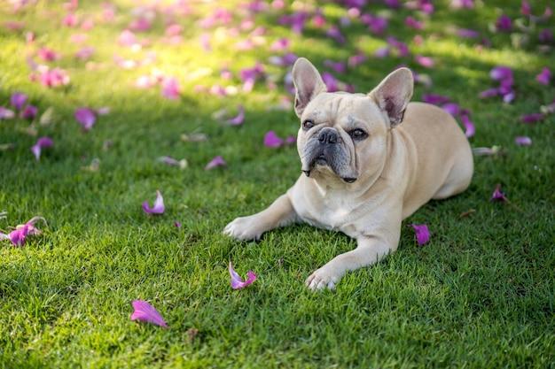Buldogue francês bonito que encontra-se na grama sob a árvore do purpurea do bauhinia no jardim.