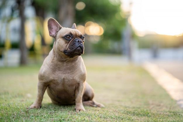 Buldogue francês bonito sentado na grama ao ar livre