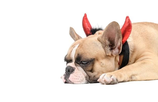 Buldogue francês com uma faixa em forma de chifre do diabo