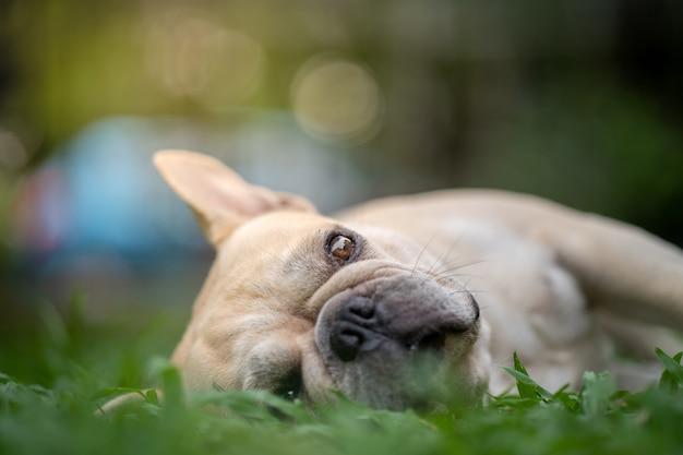 Buldogue francês deitado na grama
