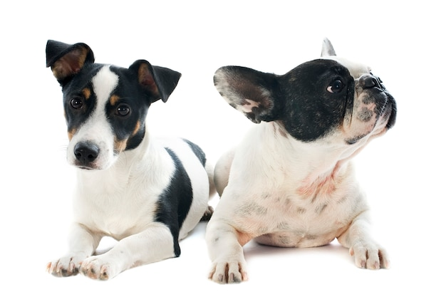 Buldogue francês e jack russel terrier em branco