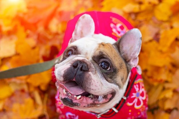 Buldogue francês em folhas de outono