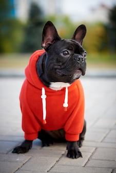 Buldogue francês em um casaco com capuz vermelho em uma caminhada.