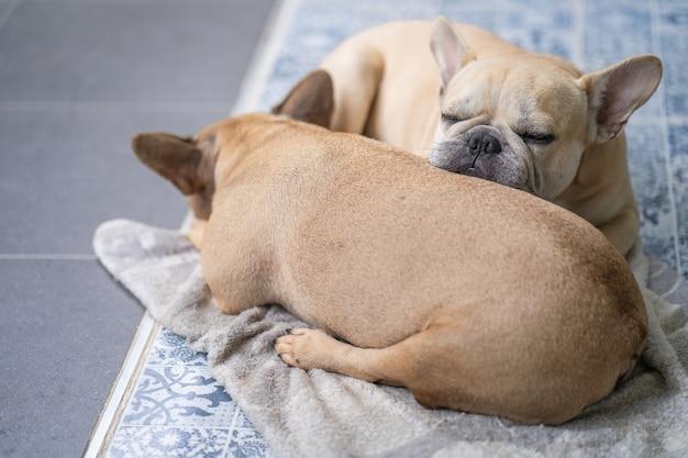 Buldogue francês fofo dormindo dentro de casa