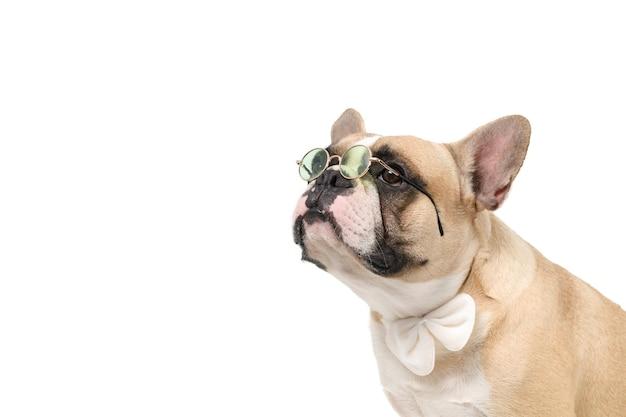 Buldogue francês fofo usa óculos e gravata borboleta branca isolada no branco
