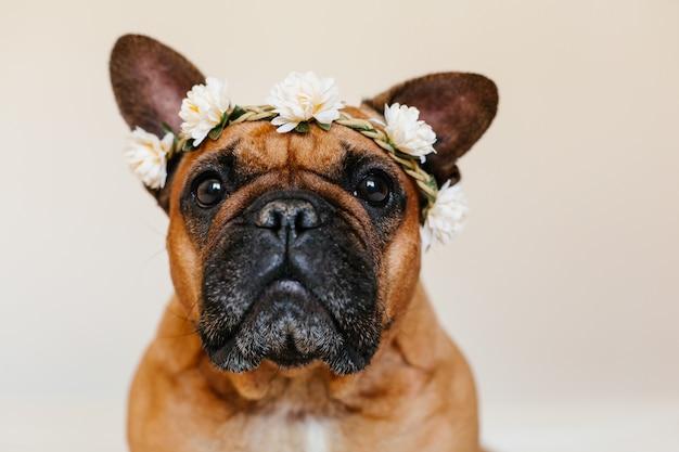 Buldogue francês marrom bonito que encontra-se na cama em casa. vestindo uma linda coroa de flores branca. animais de estimação em ambientes fechados e estilo de vida