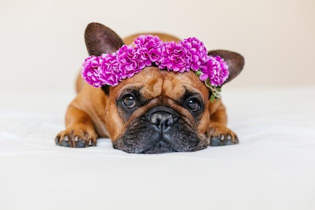 Buldogue francês marrom bonito que encontra-se na cama em casa. vestindo uma linda grinalda roxa de flores. animais de estimação em ambientes fechados e estilo de vida