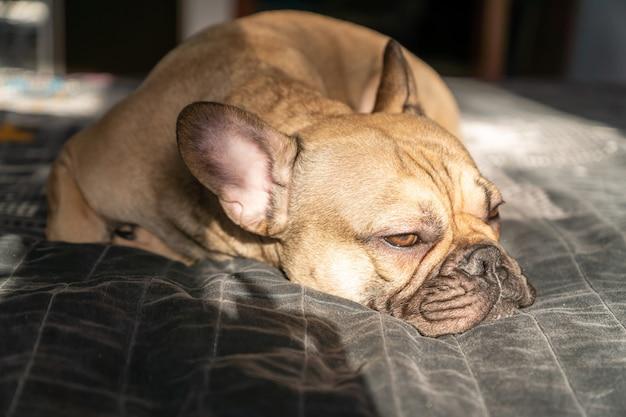 Buldogue francês marrom dorme na cama. foco seletivo.