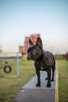 Buldogue francês no ginásio para cães ao ar livre