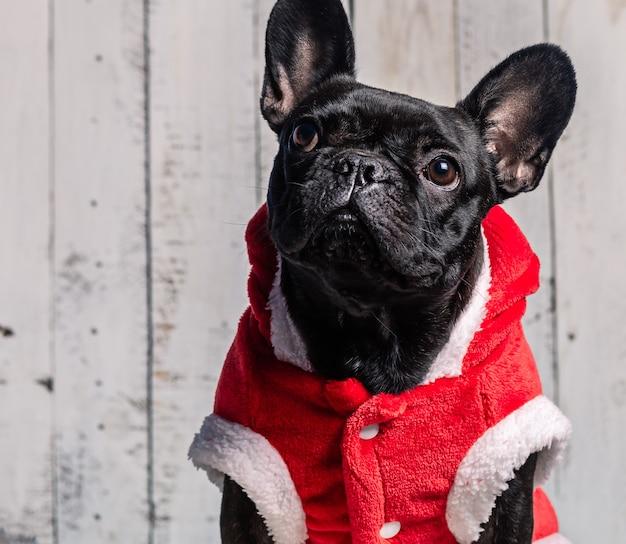 Buldogue francês preto com orelhas levantadas e vestido vermelho para o natal