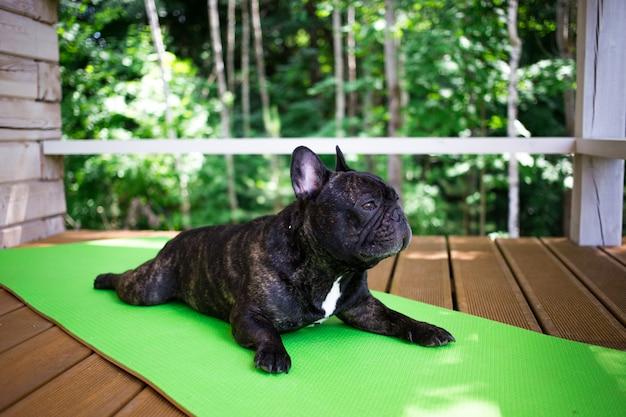 Buldogue francês tigrado deitado no tapete de ioga no terraço no verão, poses de cães