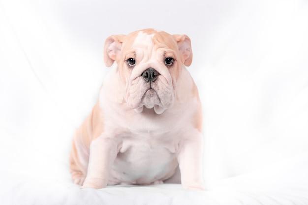 Buldogue inglês da raça do filhote de cachorro em um fundo branco. isolar.