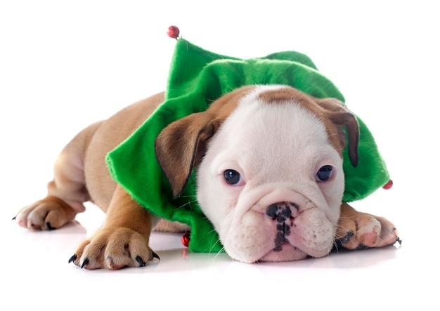Buldogue inglês do filhote de cachorro do natal