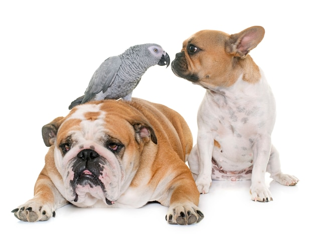 Buldogues e papagaio