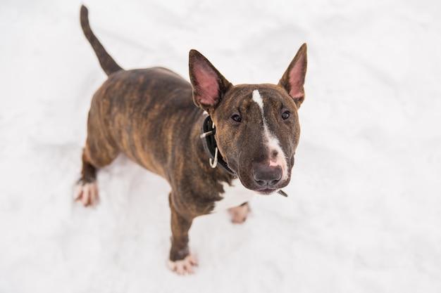 Bull terrier de brown que anda na neve no parque. cão de raça pura brincalhão