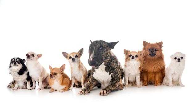 Bull terrier e cachorrinhos