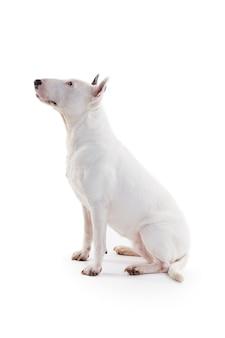 Bull terrier em branco no estúdio