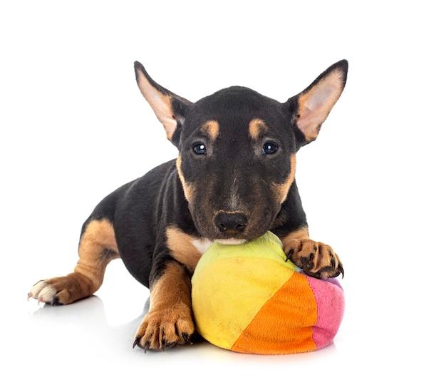 Bull terrier em miniatura na frente de um fundo branco
