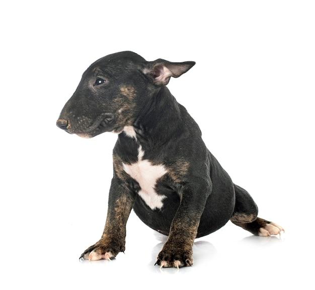 Bull terrier em miniatura na frente do espaço em branco