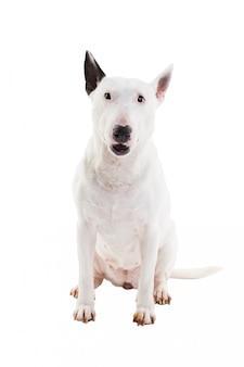 Bull terrier em um branco no estúdio