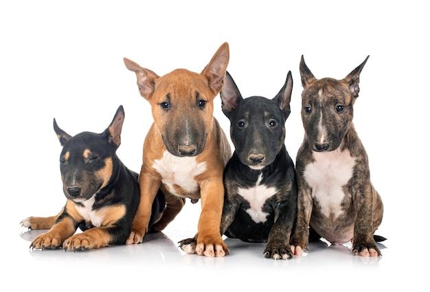 Bull terriers em miniatura na frente do fundo branco