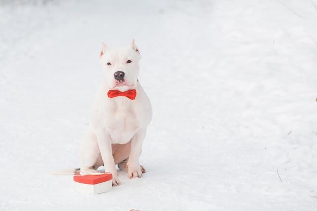 Bulldog americano em gravata borboleta vermelha com caixa de presente de coração na floresta. namorados.