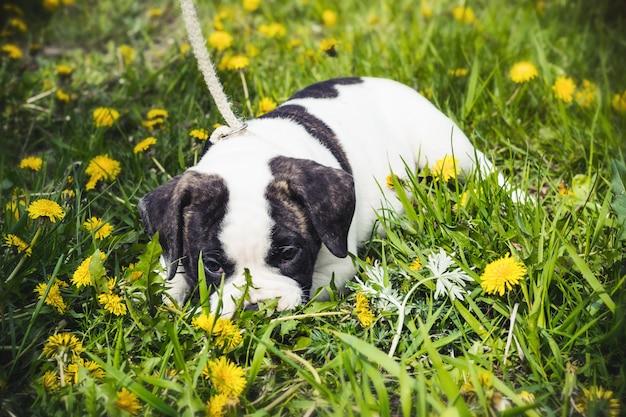 Bulldog americano filhote de cachorro para um passeio no parque