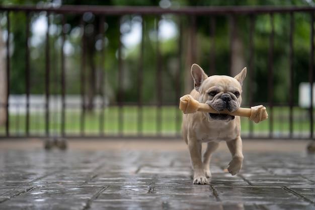 Bulldog francês bonito correndo com rawhide bone na chuva.