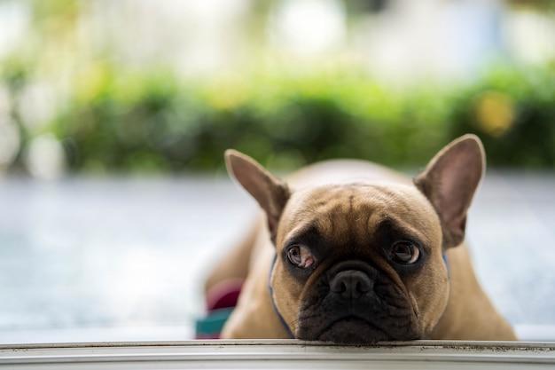 Bulldog francês bonito olhando