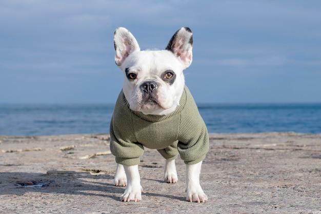 Bulldog francês branco com roupas fica em um cais do mar.