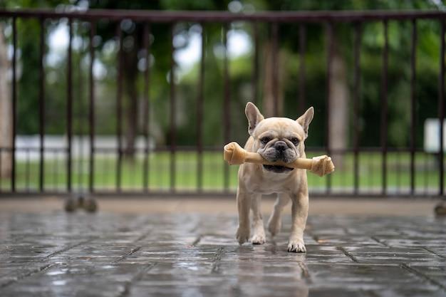 Bulldog francês correndo com osso de couro cru na boca.