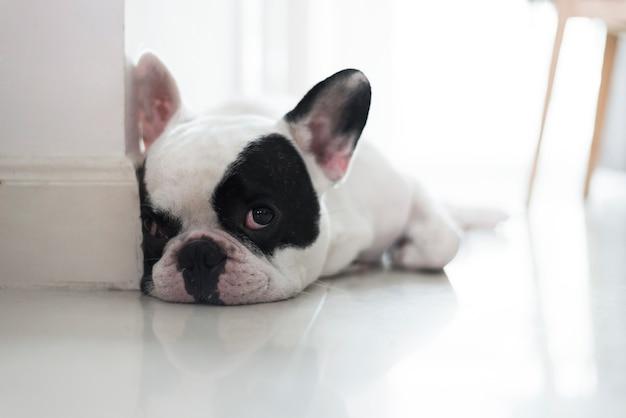 Bulldog francês deitado no chão e olhando