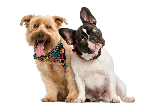 Bulldog francês e cachorro mestiço sentados lado a lado, isolados no branco