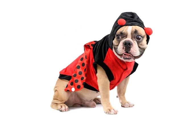 Bulldog francês fofo com medo ou surpresa de algo isolado no fundo branco