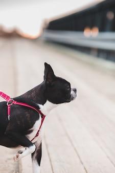Bulldog francês preto e branco com trela vermelha