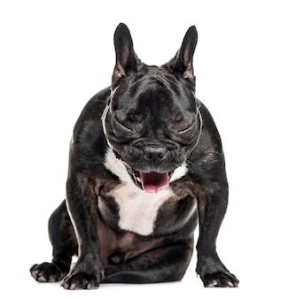 Bulldog francês sentado e bocejando, isolado no branco