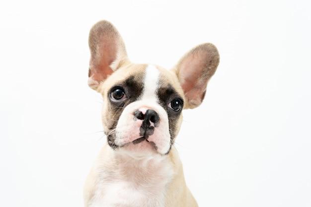 Bulldog francês.