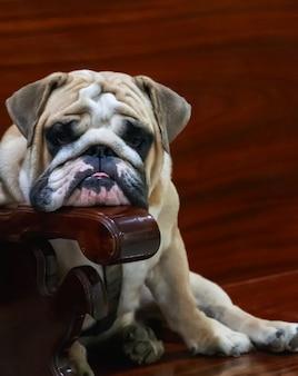 Bulldog inglês engraçado no banco