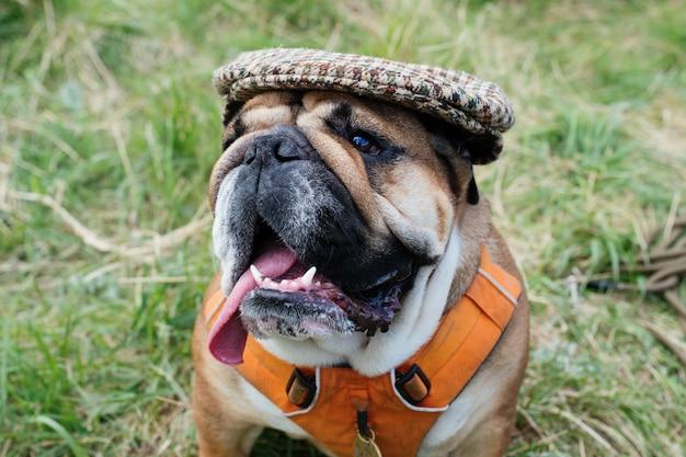 Bulldog inglês vermelho, vestindo um boné para passear e sentado na grama
