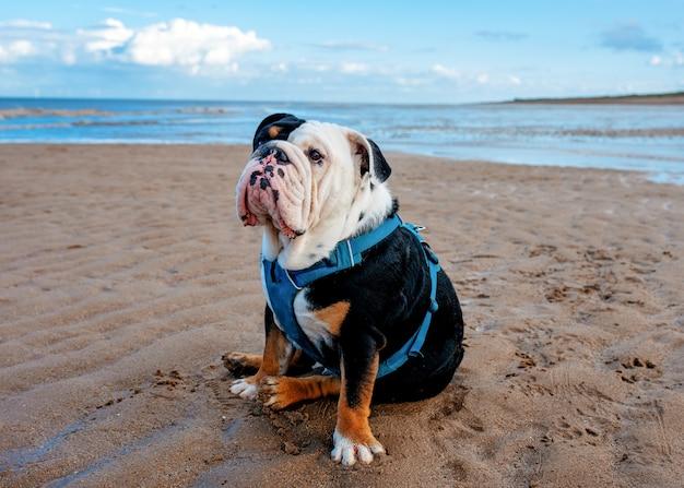 Bulldogs ingleses sentados à beira-mar